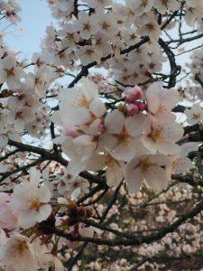 桜開花情報!東広島市の鏡山公園に行ってきました🌸 そしてミスに気づきました・・・